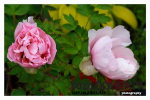 Peonie by PicTd