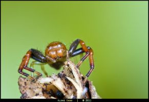 Unidentified Crab Spider by alokethebloke