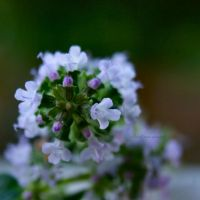 27/52~Thyme is of the Essence by charliesmyangel