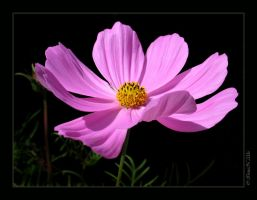 Pink 'Gloria' Cosmos by WaitingForTheWorms