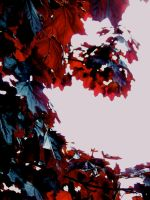 Royal red maple leaves by sarastri