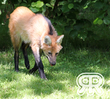 Young Maned Wolf by Renathory