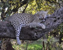 Angry leopard in tree - stock by kridah-stock