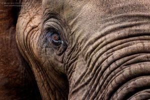 Elephant Portrait by LinRuPhotography