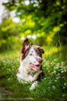 Border Collie by Psotkens