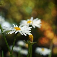 Daisies I by Justysiak