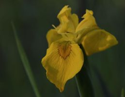 Yellow Flag Iris by barcon53
