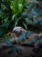 Peeping Komodo by Mckronic