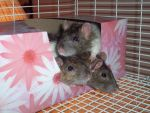 3 rats in a box by Ratty08