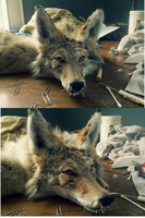premade garment tanned soft  mount coyote WIP by LittleWolfPaw