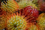 Pincushion Protea by melsofmaui