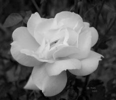 rose untitled by crawlintothesun