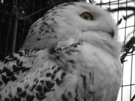 Regal Snowy Owl by Twonkalaura