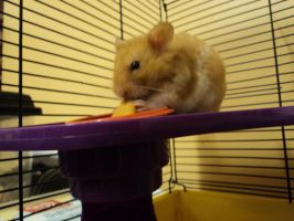 Taffy eating carrot treat 1 by 003145
