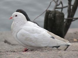 White pigeon with black eye by BioGear