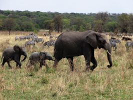 Elephant Family II by Track-Maidens