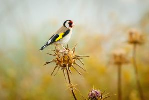 European Goldfinch (Carduelis carduelis) by rat-or-rat