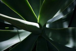 Agave by deadrose333