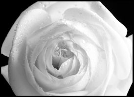 whiteout rose by photonig