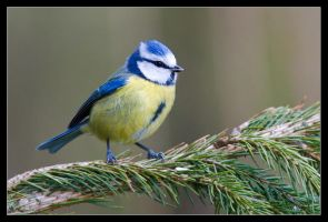 Bobby the Bluetit by MessiahKhan