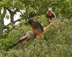 Got my kite stuck in a tree -  red kites by Jamie-MacArthur