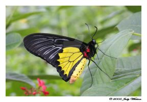 Common Birdwing by Tazzy-
