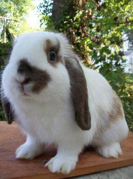 My cute holland lop by mcsw4ever