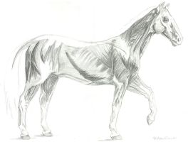 SP-horse-musculature by brittanyandalvin
