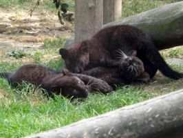 2014 - Black leopard cubs 4 by Lena-Panthera