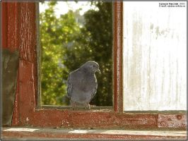 Pigeon 2003 by firework