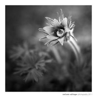 pasqueflower by miezeTatze