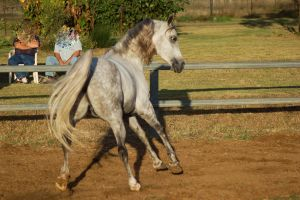 JA Arab lightdapple little leap looking back camer by Chunga-Stock