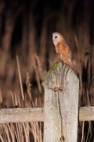 On the hunt = barn owl by phalalcrocorax