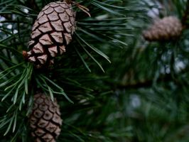 Pine by CKPhotos