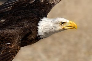 Bald eagle by Addran