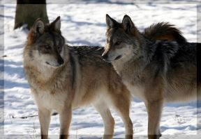 Mexican Wolves 2 by DevilChildVorn