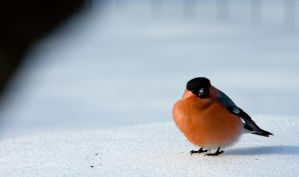 Bullfinch 2 by mv79