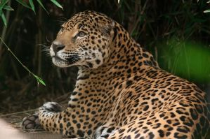 Jaguar Portrait by robbobert
