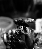 Houseleek  Fly by graphic-rusty