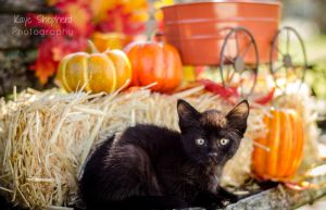 Fall Kitten 2 by KayeShepherd