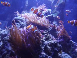 Clown Fish EVERYWHERE by ShmibProductions
