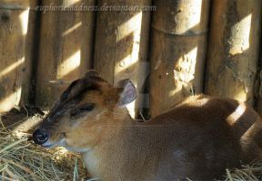 Reeve's Muntjac by euphoricmadness