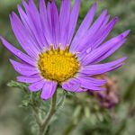 Tansy Leaf Aster by donnasueb