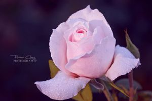 .:Rose On The Grey:. by RHCheng