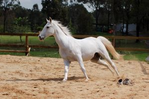 Arab canter but all legs on gr by Chunga-Stock