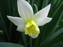 Daffodil by Holly6669666