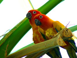 Conure by GlassEyeSphynx