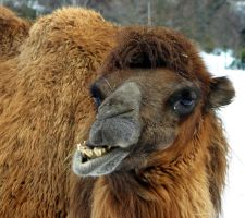 Angry dromedary by UdoChristmann