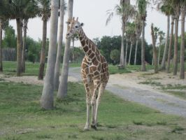 Stock: Giraffe 24 by equizotical