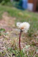 Dandelion by Phy6